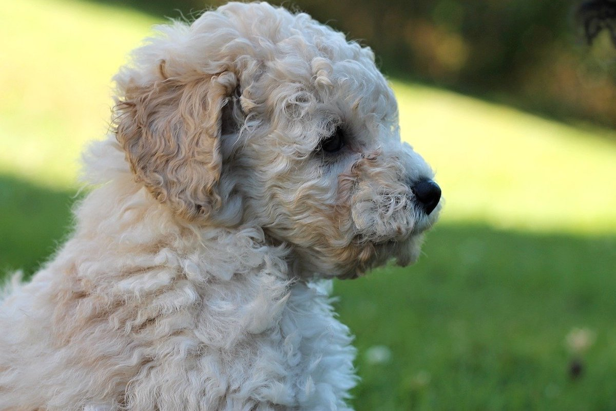 cucciolo toy bianco