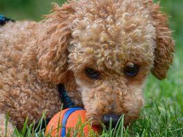 barbone gioca con pallina