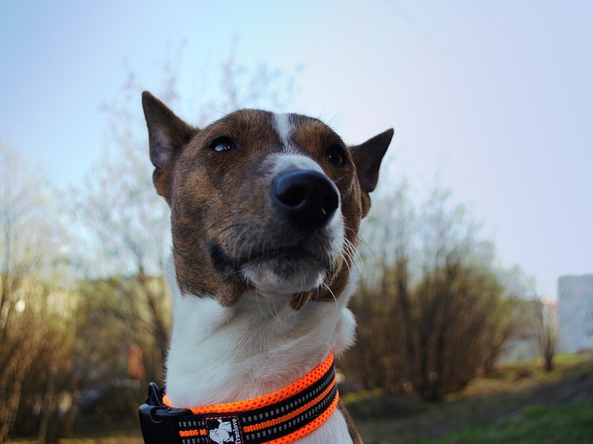 Basenji, curiosità: tutto quello che vorreste sapere su questo cane