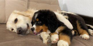 cucciolo di bovaro del bernese dorme abbracciato al Golden Retriever
