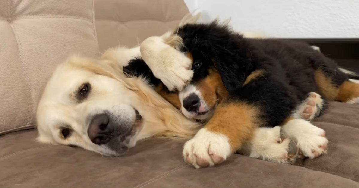 Il cucciolo di Bovaro del bernese che dorme abbracciato al Golden Retriever (VIDEO)