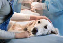 intervento chirurgico cane