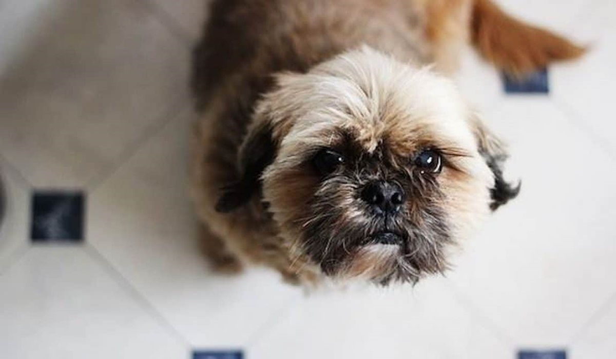 cane di razza shih tzu