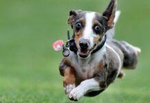 cane che corre sul prato