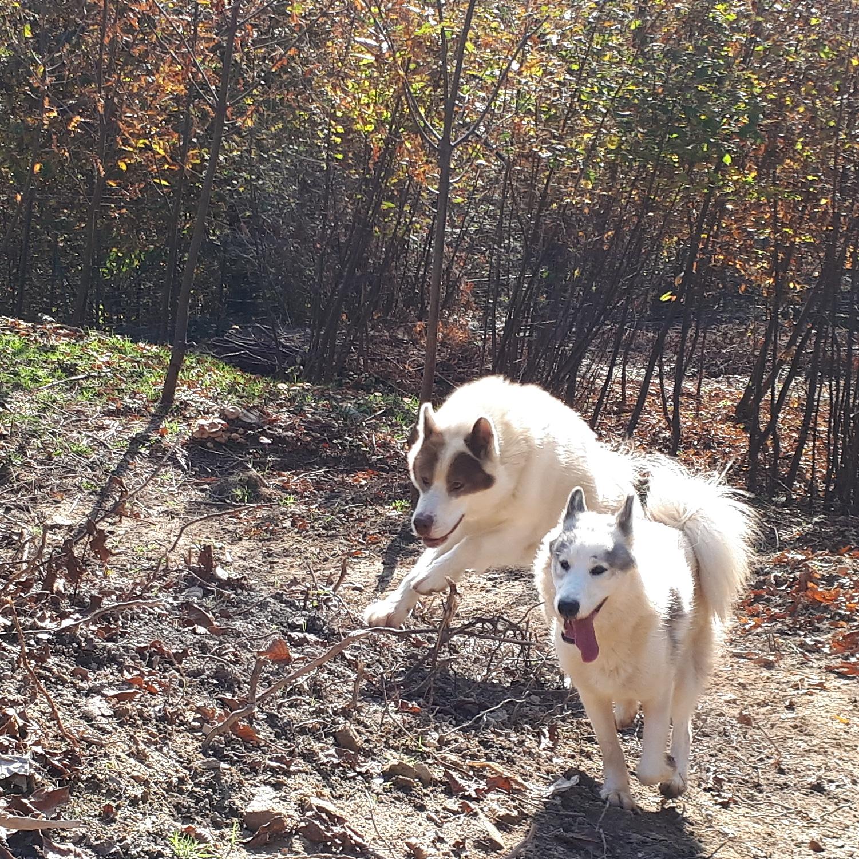 Due esemplari di Canadian Eskimo Dog