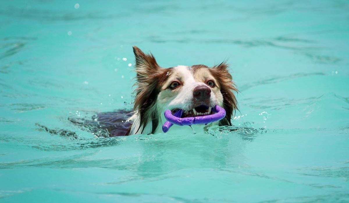 Il cane beve l'acqua della piscina, è pericoloso? Cosa sapere e come farlo smettere