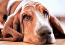 cane con problemi agli occhi