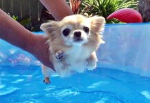 chihuahua in piscina