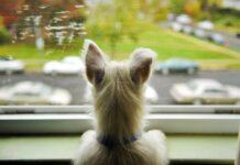cane guarda fuori dalla finestra