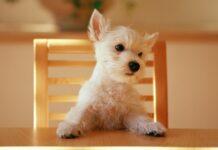 cane seduto a tavola