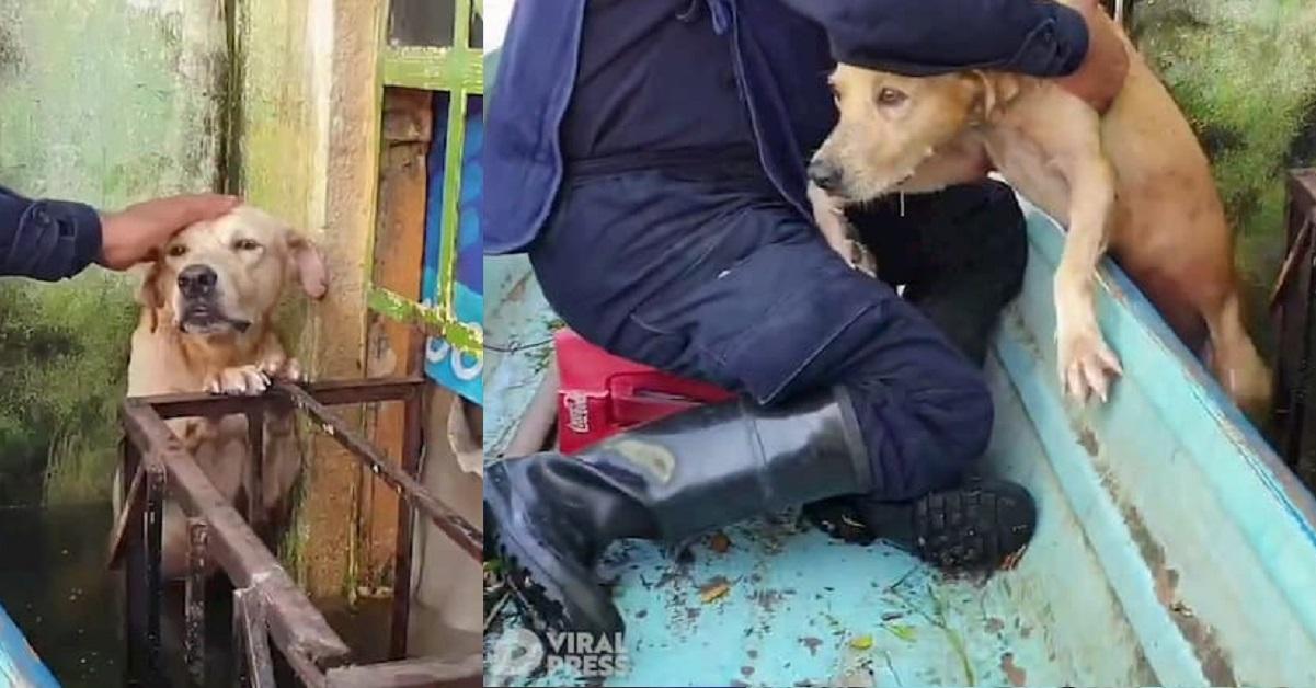 Trovato un cucciolo di labrador rimasto incastrato al balcone durante un'alluvione in Messico (VIDEO)