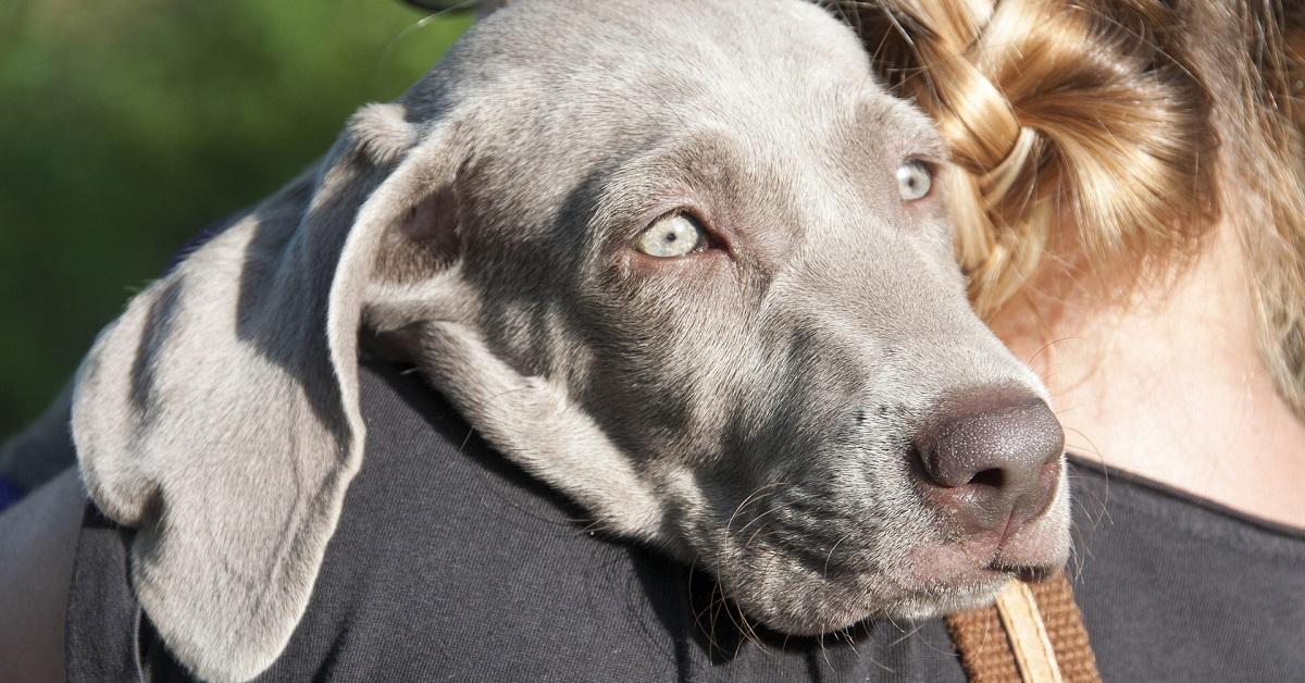cucciolo di cane grigio
