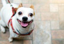 pettorina per cane di piccola taglia