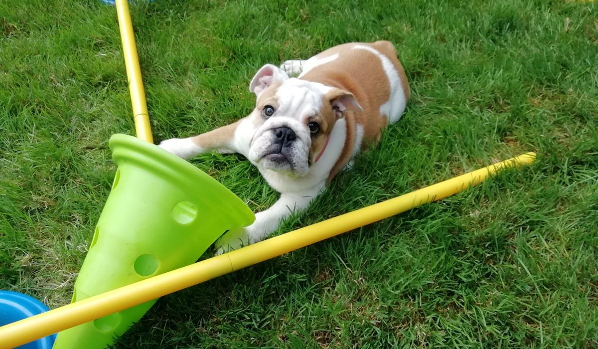cucciolo di cane che gioca sul prato