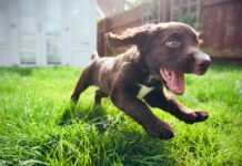 cucciolo di retriever che corre in giardino