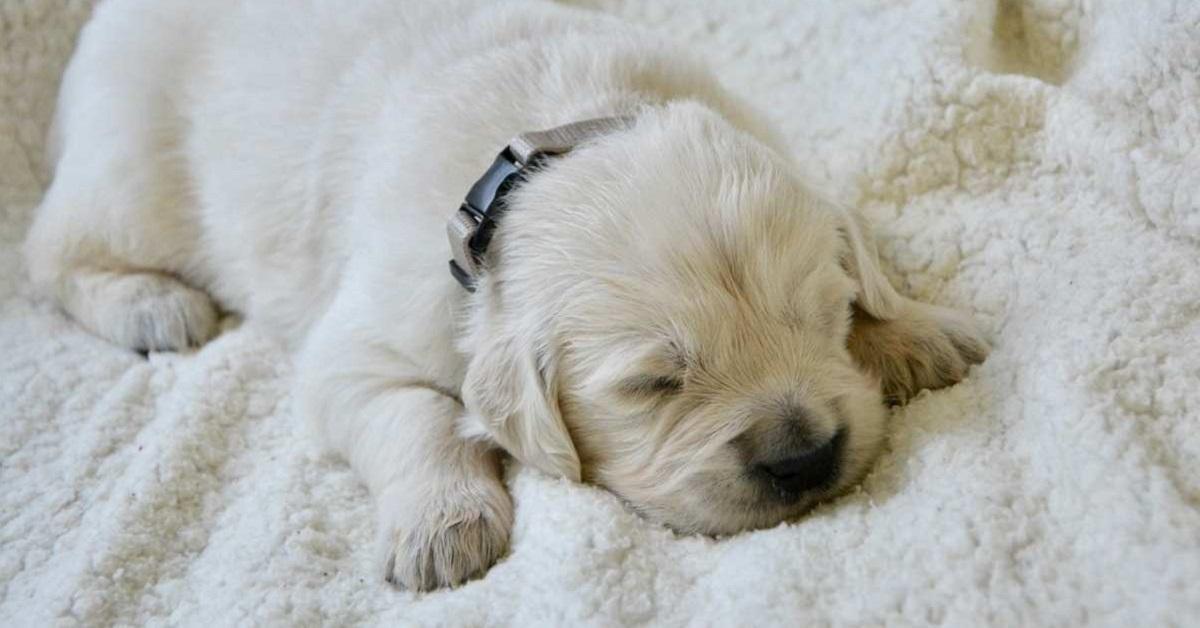 cucciolo di cane bianco