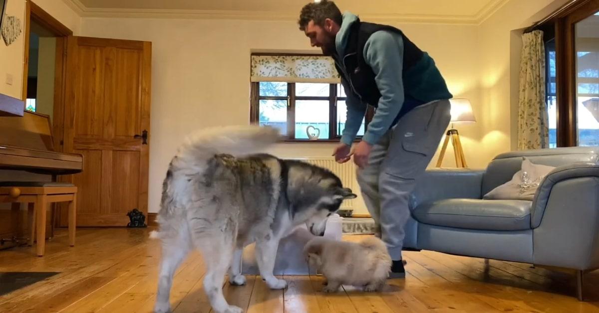 Cuccioli di Chow chow incontrano un Husky per la prima volta (VIDEO)