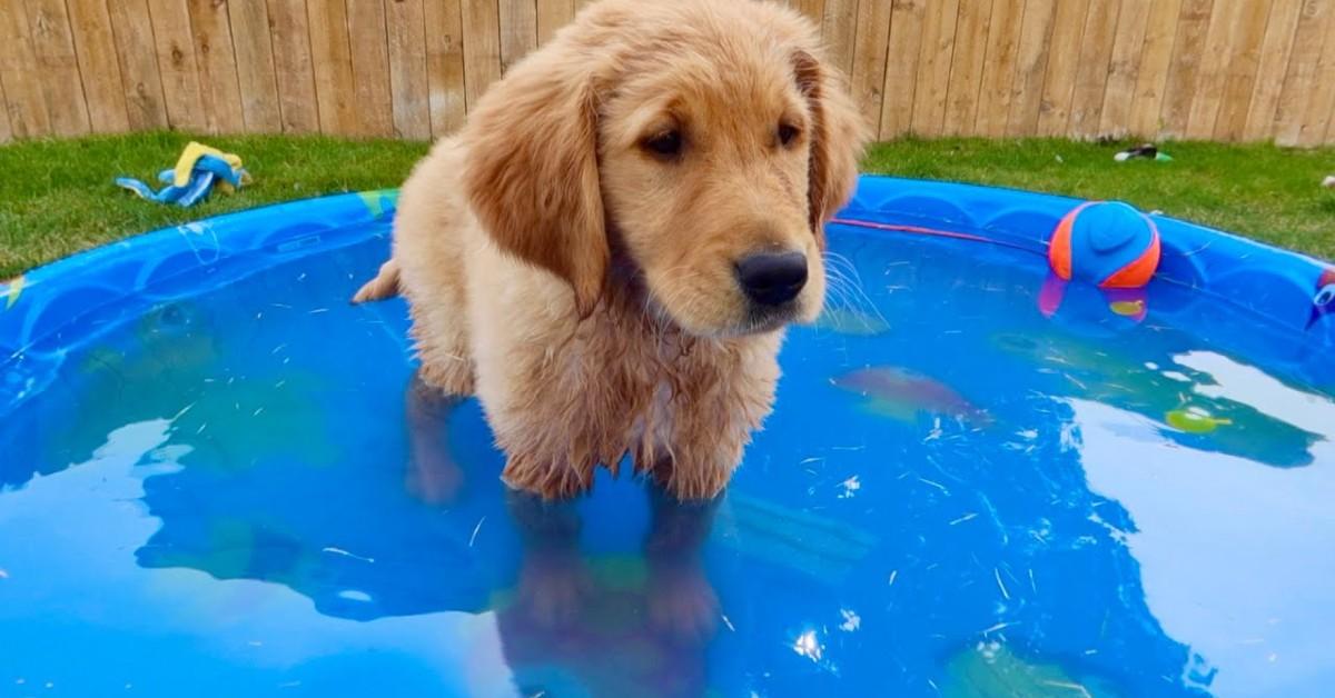 Cuccioli di Golden Retriever giocano con la piscina nuova (VIDEO)