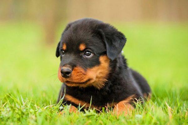 cuccioli di Rottweiler come addestrarli