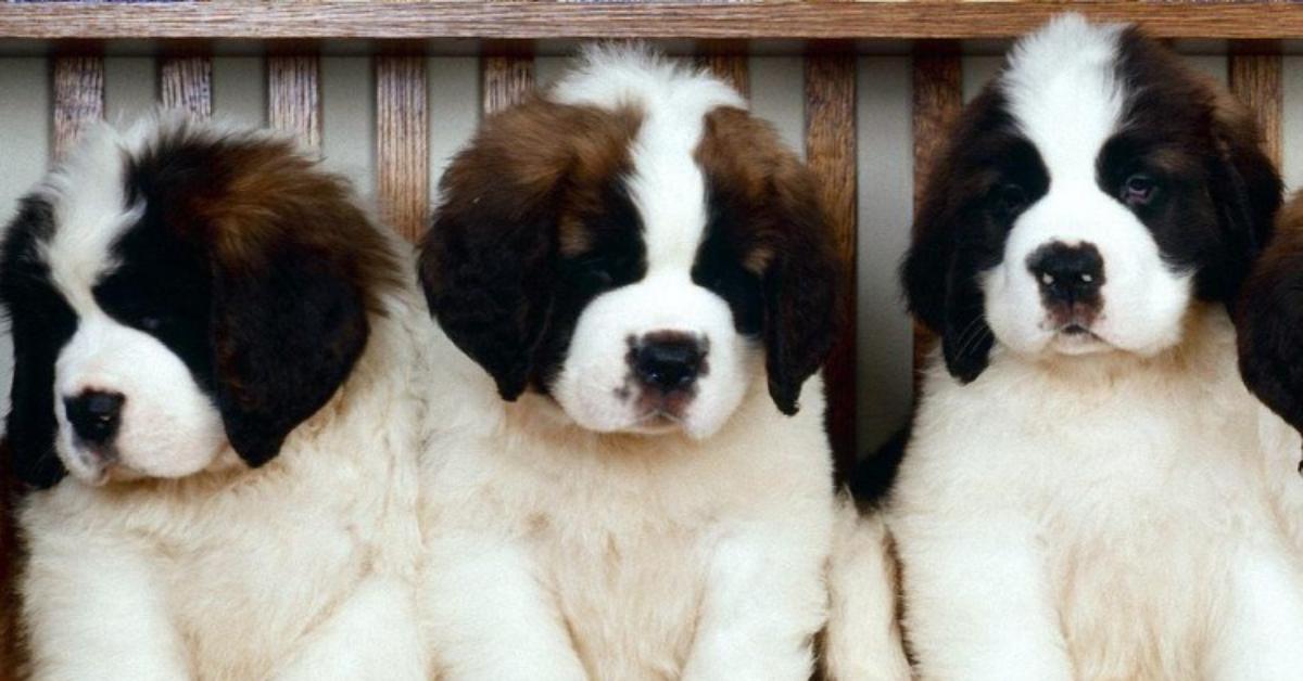 cuccioli di san bernardo originali