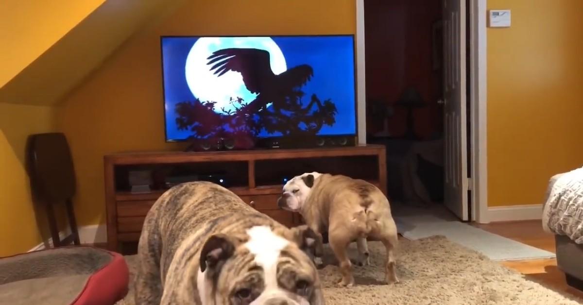 Cuccioli di Bulldog inglese abbaiano alla televisione e si divertono (VIDEO)