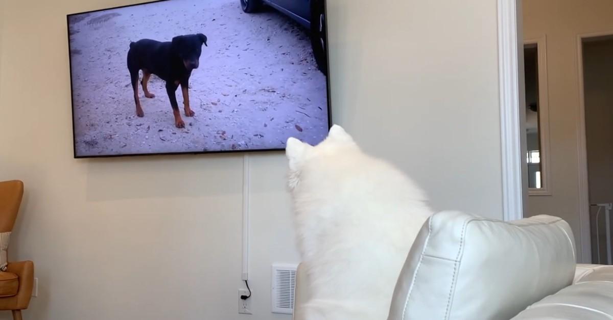 Due cuccioli di cane guardano la televisione e si rilassano (VIDEO)
