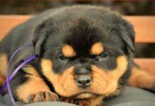 primo piano di un cucciolo di rottweiler