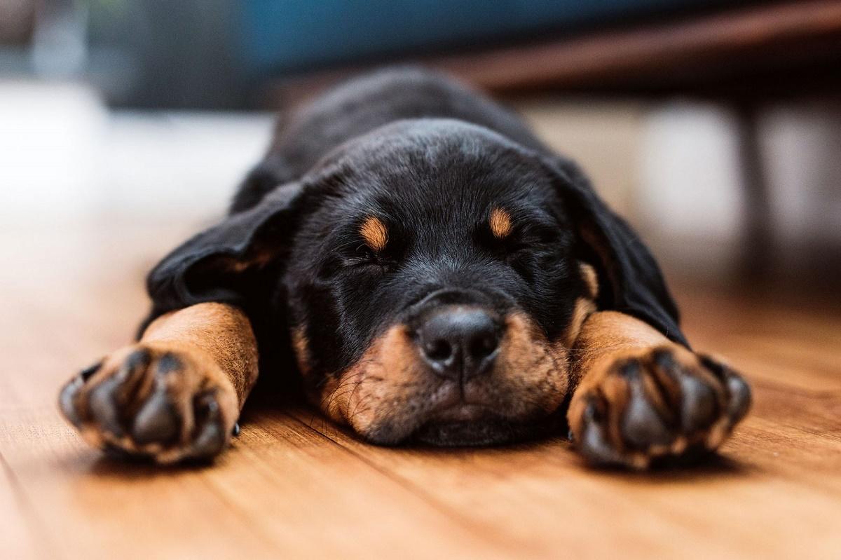 cucciolo di rottweiler sul parquet