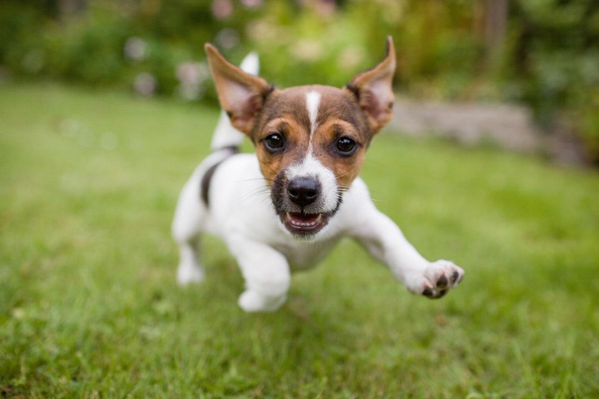 Cuccioli di Russell Terrier come sceglierli? Tutti i consigli migliori e le dritte
