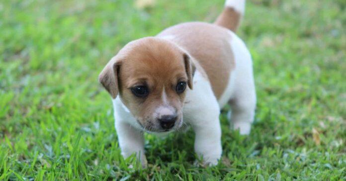 cucciolo di russell terrier sull'erba