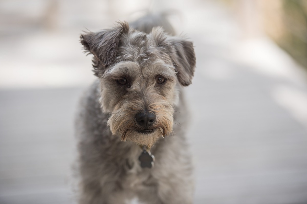schnoodle musetto dolce