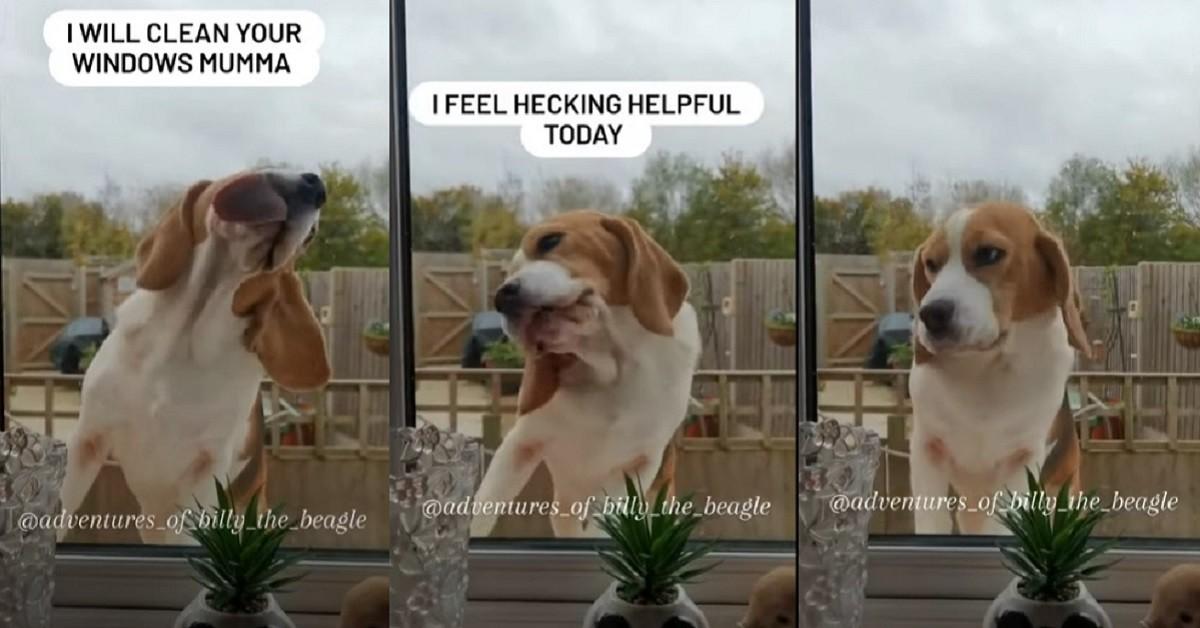 cucciolo di Beagle che lava la finestra (1)
