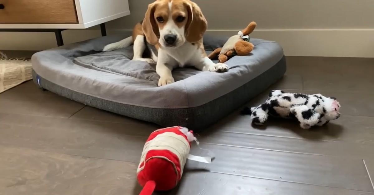 Un cucciolo di Beagle gioca con il padrone e si divertono (VIDEO)