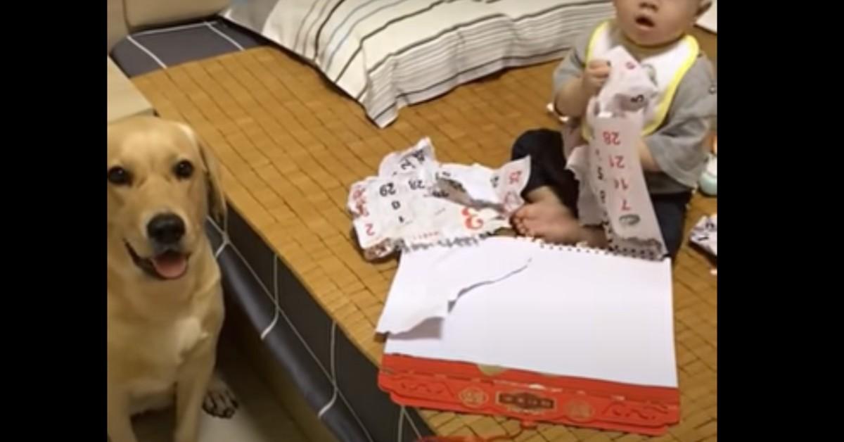 Cucciolo di Labrador si preoccupa per la sorellina umana (VIDEO)