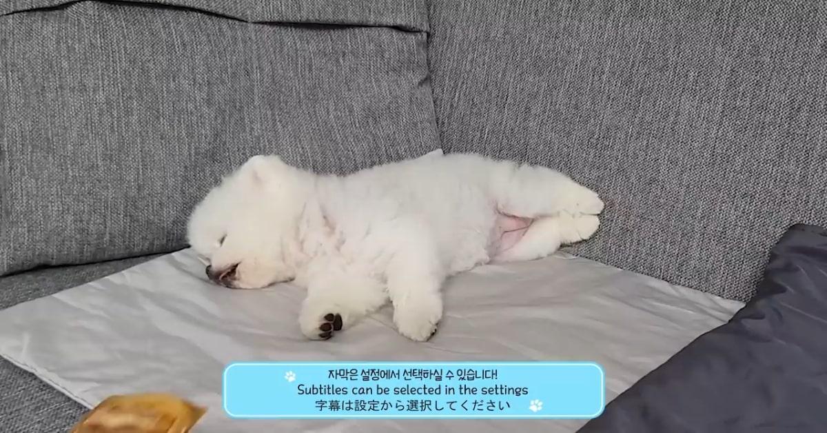 Cucciolo di Pomerania si sveglia attratto dall'odore di uno snack (VIDEO)
