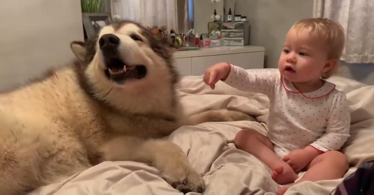 Un cucciolo di Alaskan Malamute fa le coccole alla sua dolce sorellina (VIDEO)