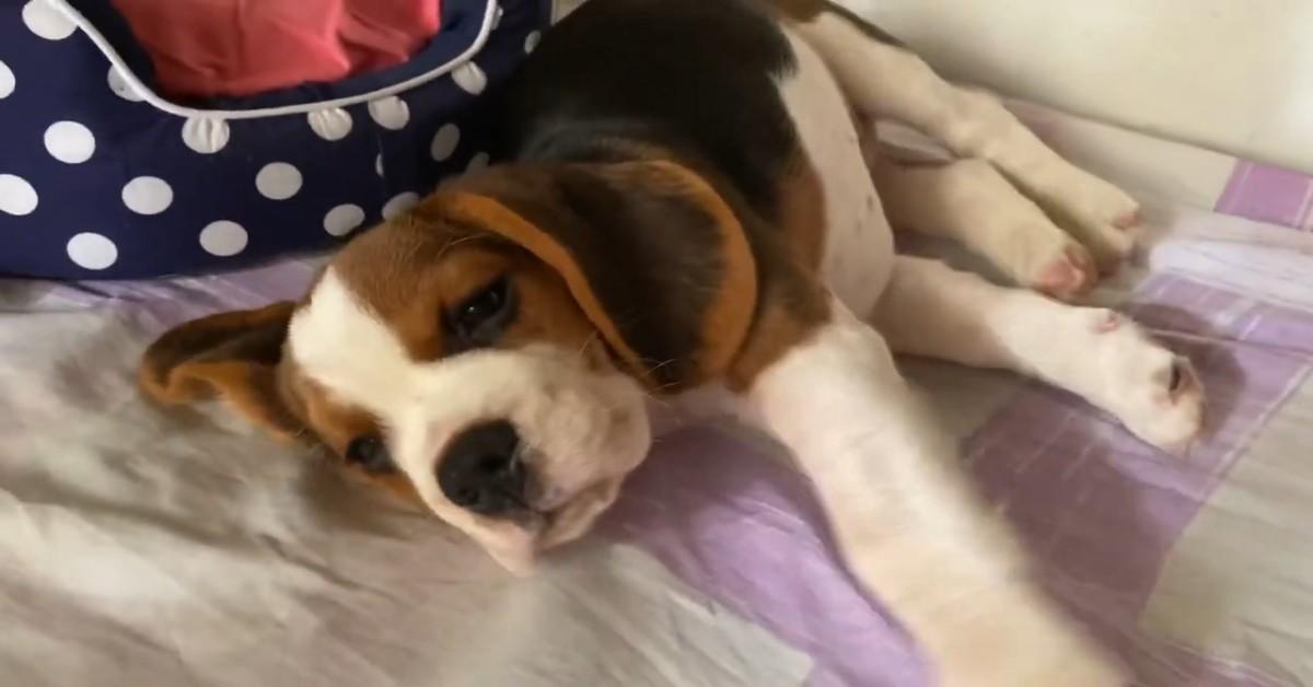 Un cucciolo di Beagle ama dormire ma la padrona lo sveglia (VIDEO)