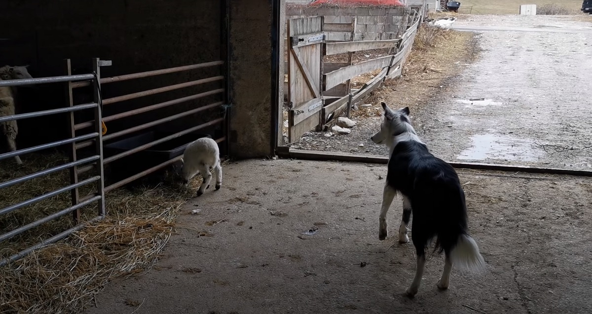 Cucciolo di Border Collie gioca con una pecorella (VIDEO)