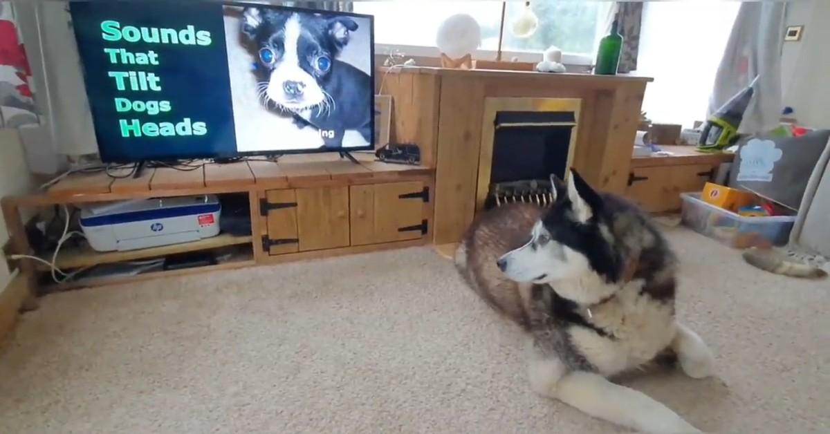 Un dolce cucciolo di cane abbaia alla televisione rendendo la scena molto dolce (VIDEO)