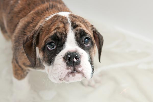 cucciolo di cane ha paura del vuoto