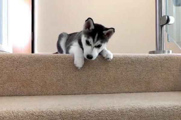 Cucciolo di cane ha paura delle scale: come fargliela superare, piano e senza traumi