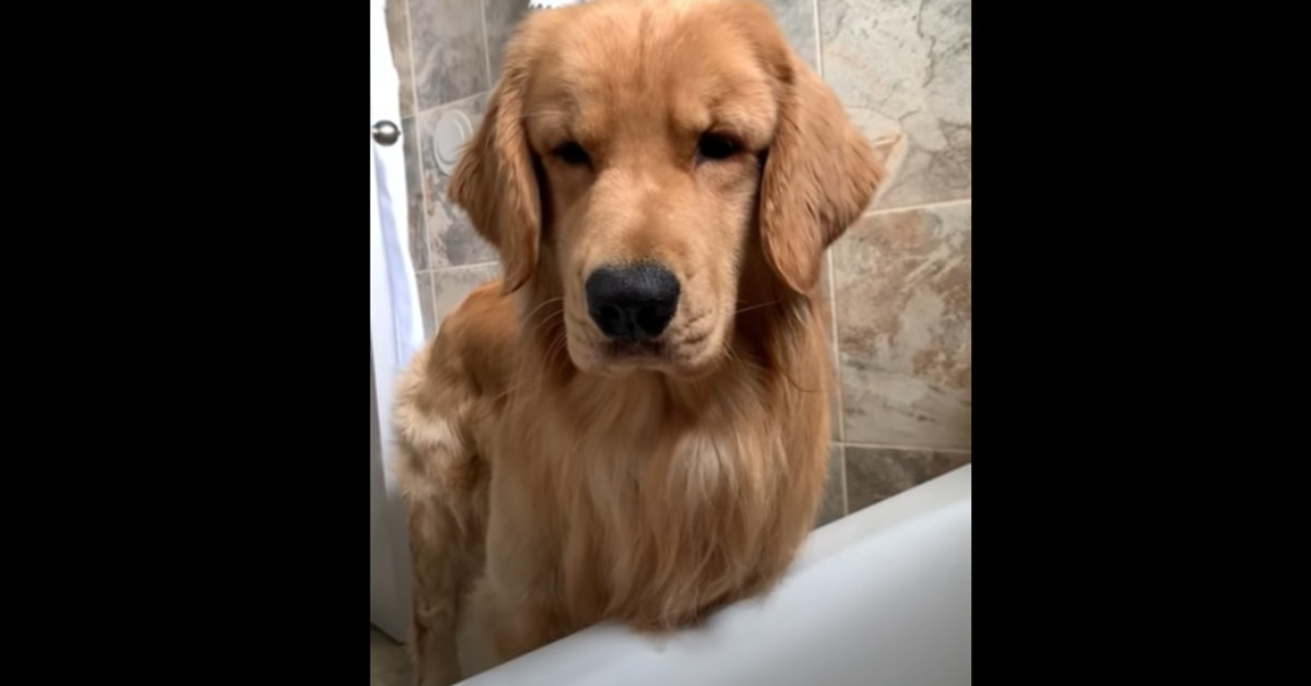 Cucciolo di Golden Retriever discute con la padrona che sta facendo un bagno (VIDEO)