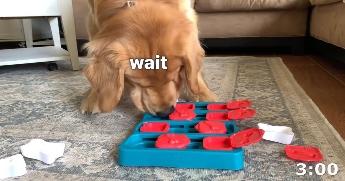 Un cucciolo di Golden Retriever fa un gioco con la sua padrona (VIDEO)