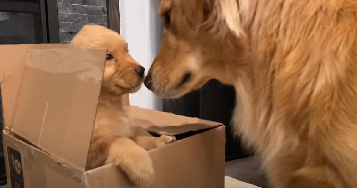 Cucciolo di Golden Retriever riceve il regalo di natale in anticipo (VIDEO)