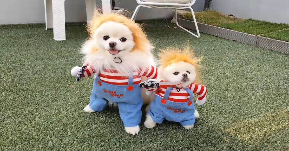 Cuccioli di Pomerania festeggiano Halloween in un modo molto divertente (VIDEO)