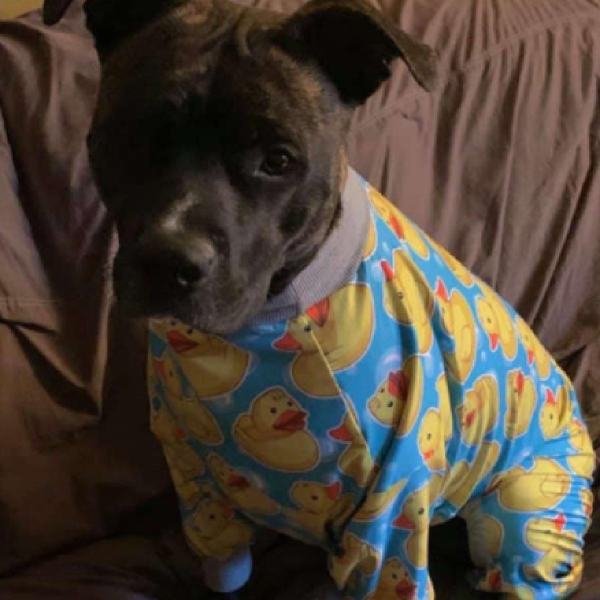 Denver, la cucciola di Pitbull che ha lo stesso pigiama del papà (FOTO)