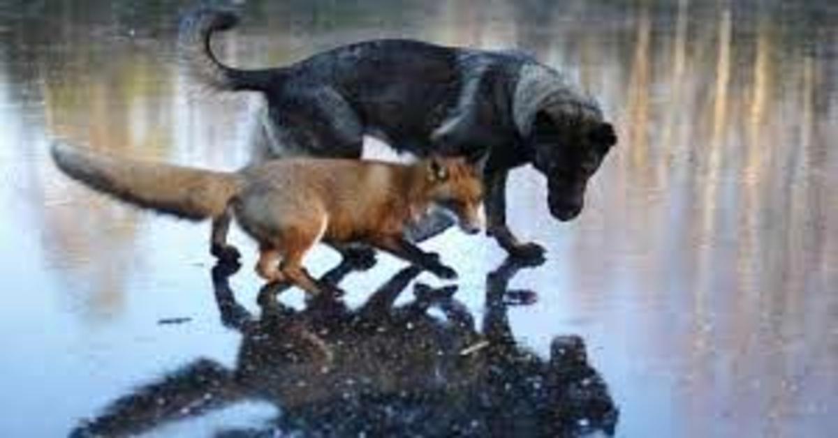 Tinni e Sniffer: la meravigliosa amicizia fra una volpe e un cane (VIDEO)