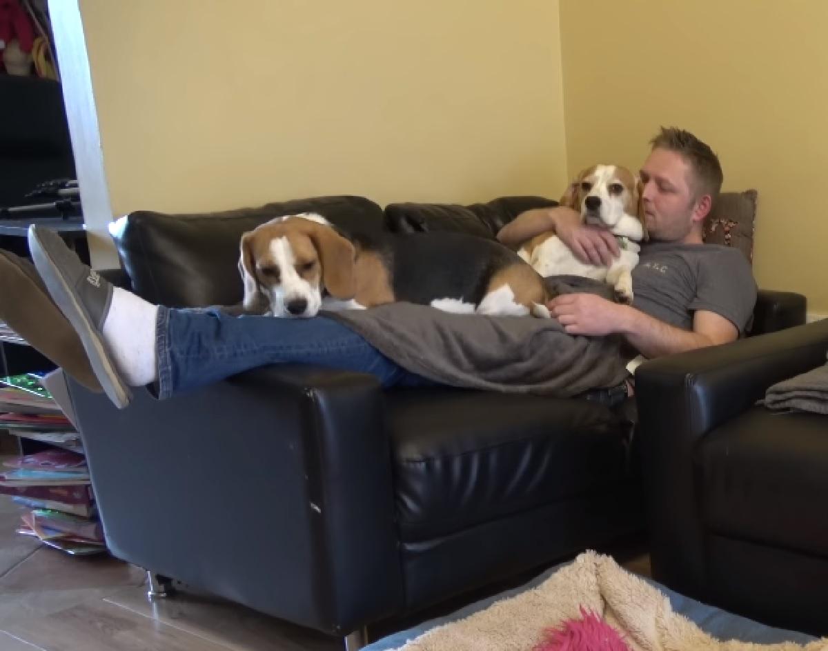 Due cuccioli Beagle vogliono tutte le attenzioni del mondo, nel video notiamo il loro modo per ottenerle