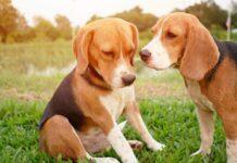 due cuccioli beagle vogliono attenzioni mondo video