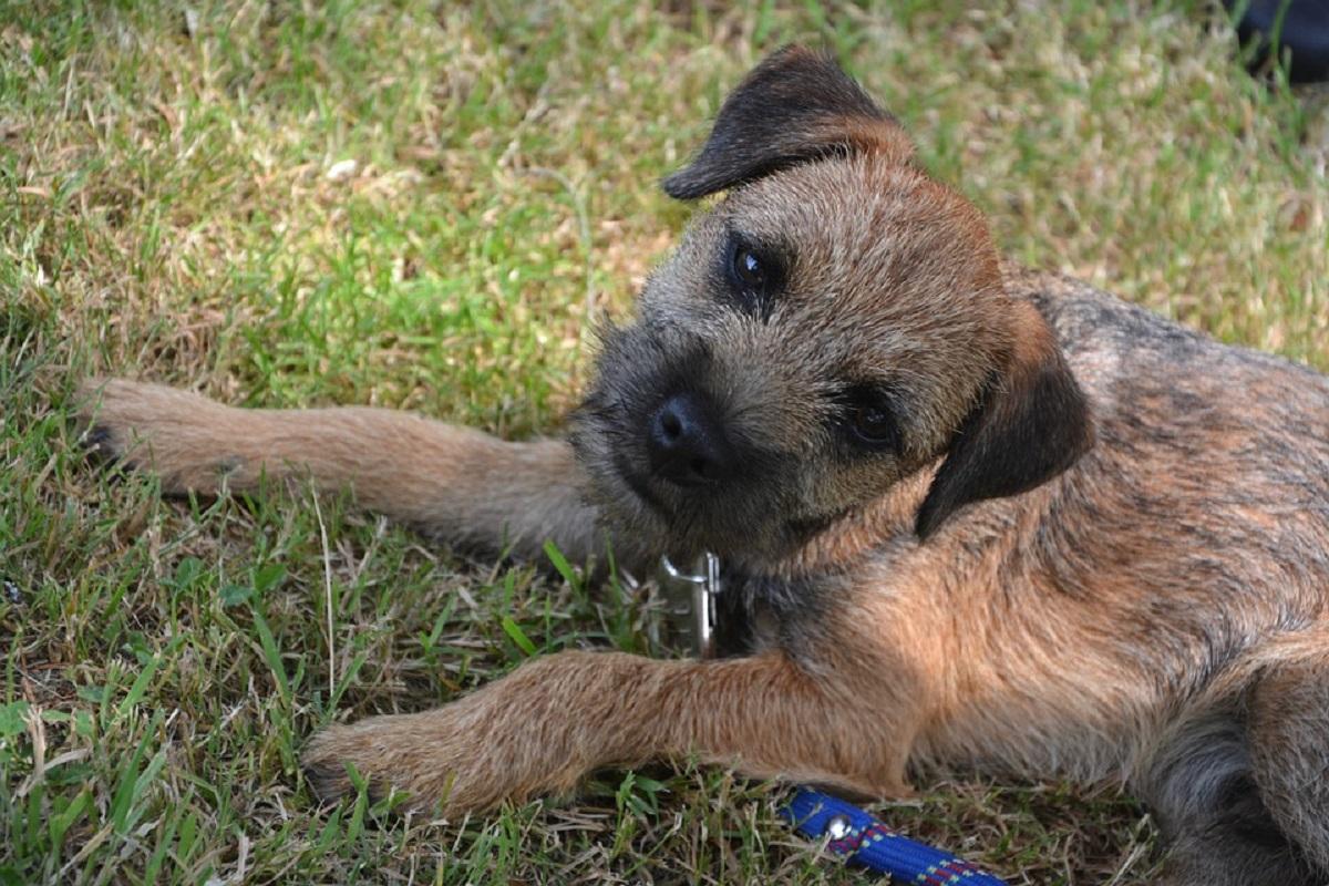 Due cuccioli di Border Terrier mettono involontariamente in fuga un fattorino (VIDEO)
